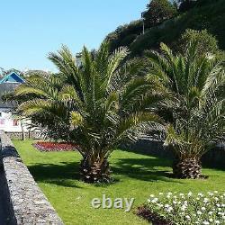 2 Hardy Phoenix Palm Trees Tropical Garden Outdoor Patio Yard 1.2-1.4m Tall Pair